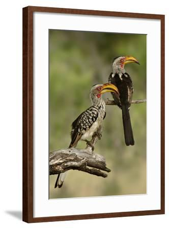 Pair of Southern Yellowbilled Hornbill's; Tockus Leucomelas; South Africa-Johan Swanepoel-Framed Photographic Print