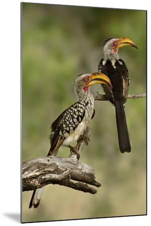 Pair of Southern Yellowbilled Hornbill's; Tockus Leucomelas; South Africa-Johan Swanepoel-Mounted Photographic Print