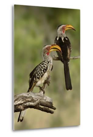 Pair of Southern Yellowbilled Hornbill's; Tockus Leucomelas; South Africa-Johan Swanepoel-Metal Print