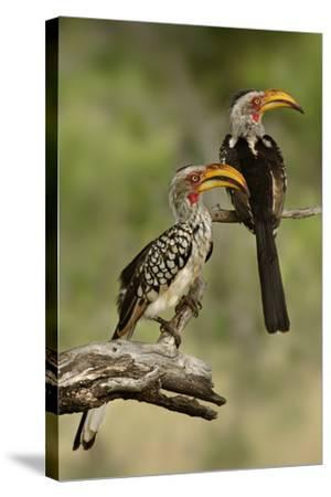 Pair of Southern Yellowbilled Hornbill's; Tockus Leucomelas; South Africa-Johan Swanepoel-Stretched Canvas Print
