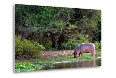 Young Hippo Feeding on River Bank; Hippopotamus Amphibius-Johan Swanepoel-Metal Print