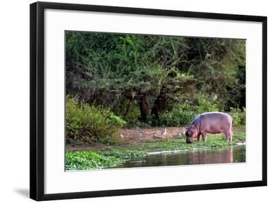 Young Hippo Feeding on River Bank; Hippopotamus Amphibius-Johan Swanepoel-Framed Photographic Print