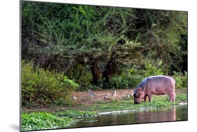 Young Hippo Feeding on River Bank; Hippopotamus Amphibius-Johan Swanepoel-Mounted Photographic Print