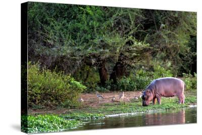 Young Hippo Feeding on River Bank; Hippopotamus Amphibius-Johan Swanepoel-Stretched Canvas Print