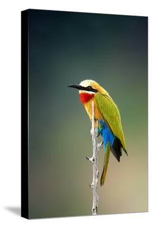 Whitefronted Bee-Eater (Merops Bullockoides) Kruger National Park (South Africa)-Johan Swanepoel-Stretched Canvas Print