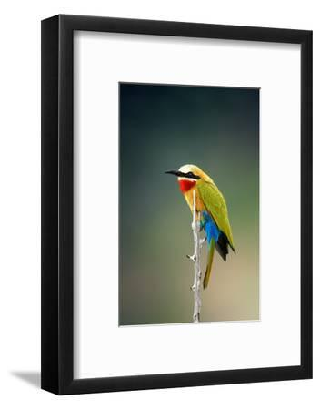 Whitefronted Bee-Eater (Merops Bullockoides) Kruger National Park (South Africa)-Johan Swanepoel-Framed Photographic Print