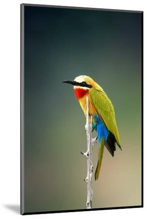 Whitefronted Bee-Eater (Merops Bullockoides) Kruger National Park (South Africa)-Johan Swanepoel-Mounted Photographic Print