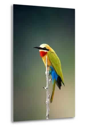 Whitefronted Bee-Eater (Merops Bullockoides) Kruger National Park (South Africa)-Johan Swanepoel-Metal Print