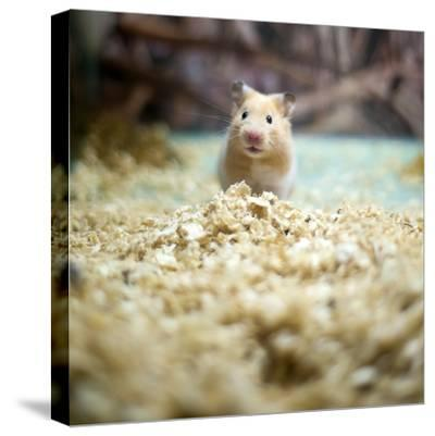 Cute Hamster- LIUSHENGFILM-Stretched Canvas Print