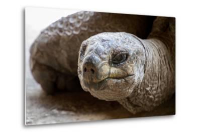 Side Portrait of Native Aldabra Giant Tortoise during Summer in Nature Reserve Ile Aux Aigrettes On-Mr Lemon-Metal Print