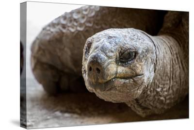 Side Portrait of Native Aldabra Giant Tortoise during Summer in Nature Reserve Ile Aux Aigrettes On-Mr Lemon-Stretched Canvas Print