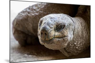 Side Portrait of Native Aldabra Giant Tortoise during Summer in Nature Reserve Ile Aux Aigrettes On-Mr Lemon-Mounted Photographic Print