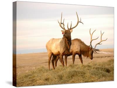 Two Elk-Lorraine Swanson-Stretched Canvas Print
