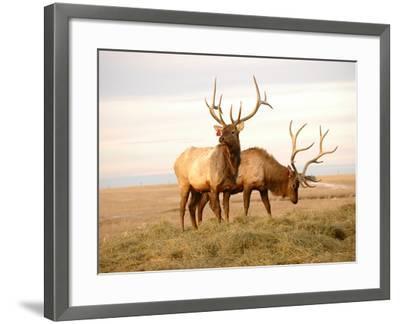 Two Elk-Lorraine Swanson-Framed Photographic Print