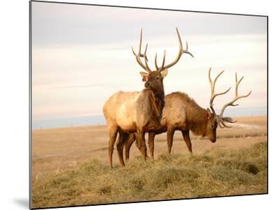 Two Elk-Lorraine Swanson-Mounted Photographic Print