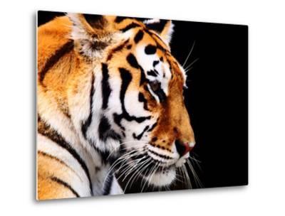 Big Tiger on a Black Background- ANP-Metal Print