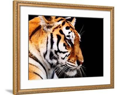 Big Tiger on a Black Background- ANP-Framed Photographic Print