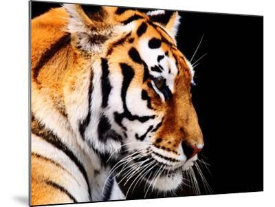 Big Tiger on a Black Background- ANP-Mounted Photographic Print