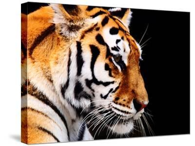 Big Tiger on a Black Background- ANP-Stretched Canvas Print