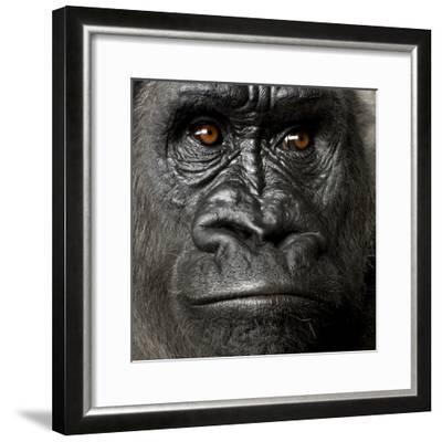 Young Silverback Gorilla in Front of a White Background-Eric Isselee-Framed Photographic Print