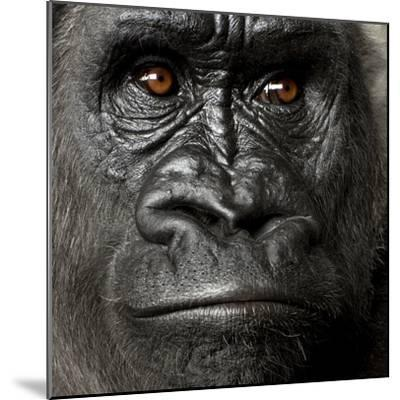 Young Silverback Gorilla in Front of a White Background-Eric Isselee-Mounted Photographic Print