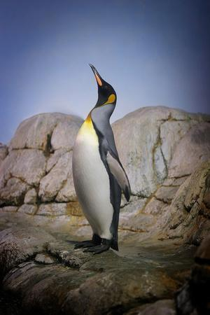Penguin with Beak towards the Sky and Wings Back on Rocks.-Kimberly Hall-Premium Photographic Print