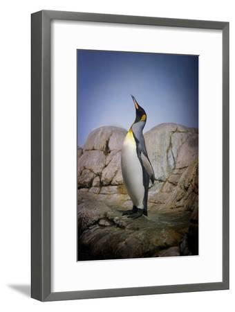 Penguin with Beak towards the Sky and Wings Back on Rocks.-Kimberly Hall-Framed Photographic Print