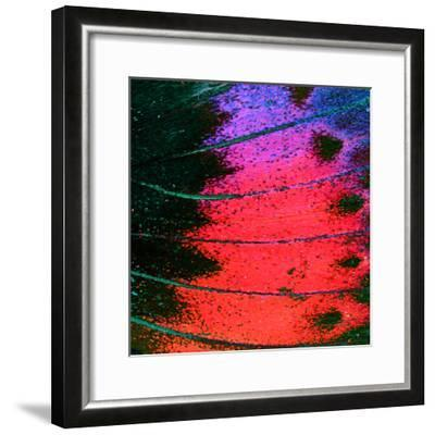 Butterfly Wing Texture, close up of Detail of Butterfly Wing for Background- wanchai-Framed Photographic Print