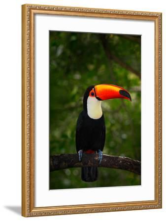Toco Toucan, Big Bird with Orange Bill, in the Nature Habitat, Pantanal, Brazil. Orange Beak Toucan-Ondrej Prosicky-Framed Photographic Print