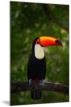 Toco Toucan, Big Bird with Orange Bill, in the Nature Habitat, Pantanal, Brazil. Orange Beak Toucan-Ondrej Prosicky-Mounted Photographic Print