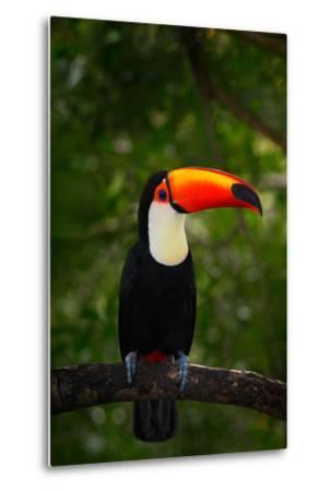 Toco Toucan, Big Bird with Orange Bill, in the Nature Habitat, Pantanal, Brazil. Orange Beak Toucan-Ondrej Prosicky-Metal Print