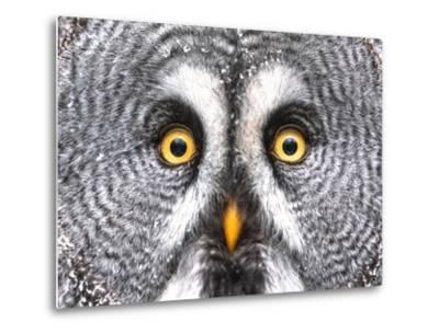 Amazed Great Grey Owl Hdr- Pics-xl-Metal Print