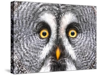 Amazed Great Grey Owl Hdr- Pics-xl-Stretched Canvas Print