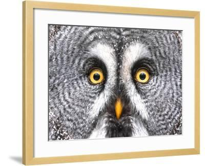 Amazed Great Grey Owl Hdr- Pics-xl-Framed Photographic Print