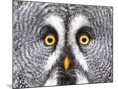 Amazed Great Grey Owl Hdr- Pics-xl-Mounted Photographic Print