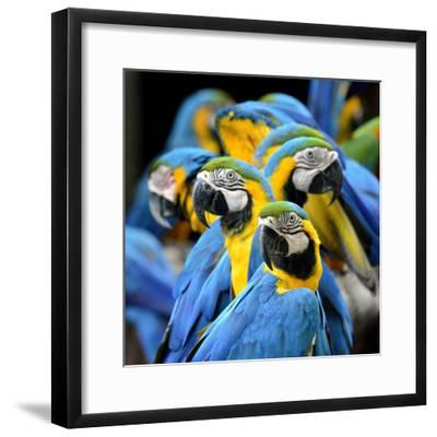 Many of Blue and Gold Macaw Perching Together with Very Warm Moment-Super Prin-Framed Photographic Print