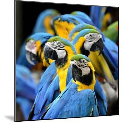Many of Blue and Gold Macaw Perching Together with Very Warm Moment-Super Prin-Mounted Photographic Print