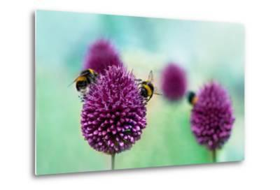 Bees on Allium Sphaerocephalon. Allium Drumstick, also known as Sphaerocephalon, Produces Two-Toned-Onelia Pena-Metal Print