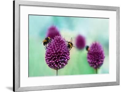 Bees on Allium Sphaerocephalon. Allium Drumstick, also known as Sphaerocephalon, Produces Two-Toned-Onelia Pena-Framed Photographic Print