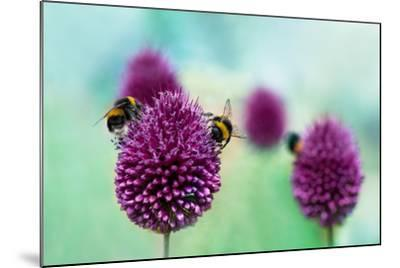 Bees on Allium Sphaerocephalon. Allium Drumstick, also known as Sphaerocephalon, Produces Two-Toned-Onelia Pena-Mounted Photographic Print