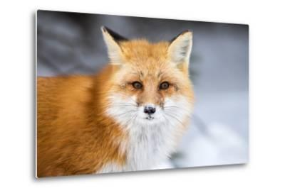 Red Fox, Vulpes Vulpes, in a Snowy Faced Stare-RT Images-Metal Print