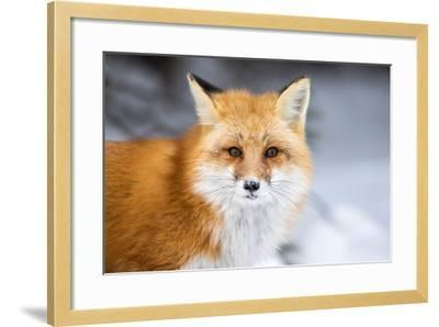 Red Fox, Vulpes Vulpes, in a Snowy Faced Stare-RT Images-Framed Photographic Print