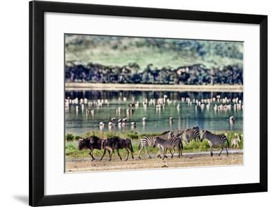 Vintage Style Image of Zebras and Wildebeests Walking beside the Lake in the Ngorongoro Crater, Tan-Travel Stock-Framed Photographic Print