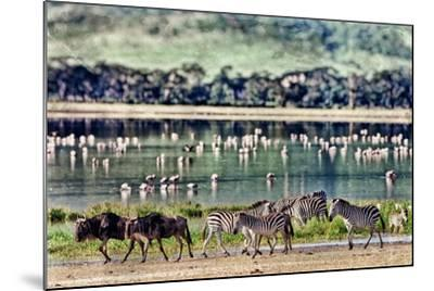 Vintage Style Image of Zebras and Wildebeests Walking beside the Lake in the Ngorongoro Crater, Tan-Travel Stock-Mounted Photographic Print