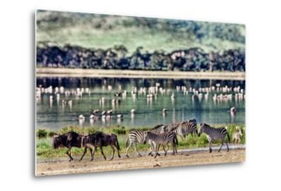 Vintage Style Image of Zebras and Wildebeests Walking beside the Lake in the Ngorongoro Crater, Tan-Travel Stock-Metal Print