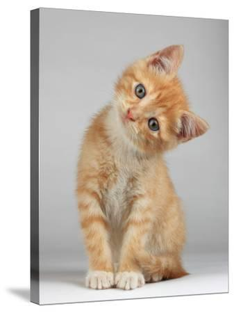 Cute Little Kitten-Lana Langlois-Stretched Canvas Print