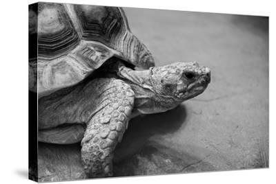 Photo of Amazing Huge African Spurred Tortoise. it is One of the Largest Species of Turtle in the W-Nataly Reinch-Stretched Canvas Print
