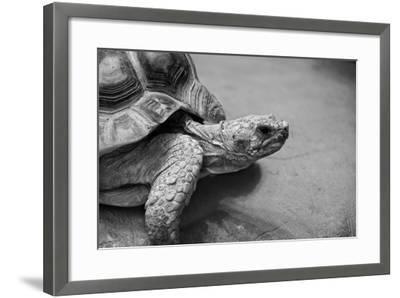 Photo of Amazing Huge African Spurred Tortoise. it is One of the Largest Species of Turtle in the W-Nataly Reinch-Framed Photographic Print