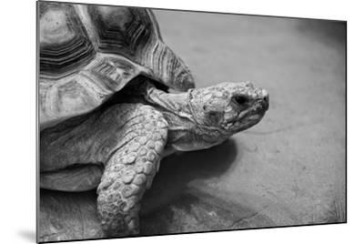 Photo of Amazing Huge African Spurred Tortoise. it is One of the Largest Species of Turtle in the W-Nataly Reinch-Mounted Photographic Print