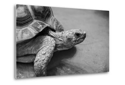 Photo of Amazing Huge African Spurred Tortoise. it is One of the Largest Species of Turtle in the W-Nataly Reinch-Metal Print